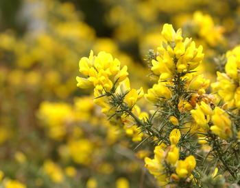 Gorse Weed