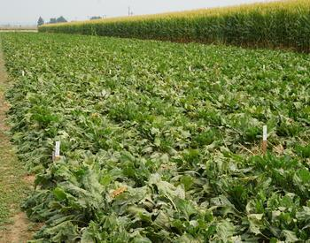 Sugar beets and field corn plots at the Malheur Experiment Station
