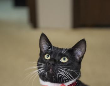 Black and white cat with red bow tie