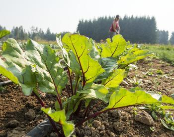 close up of chard growing in a field
