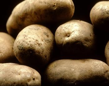 Russet potatoes in a pile