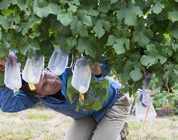 Vaughn sampling in a vineyard