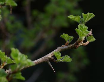 gooseberry leaves and leaf buds