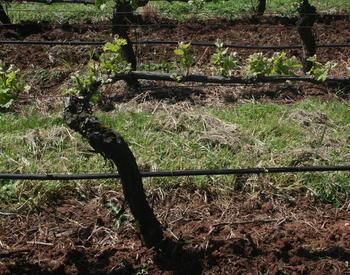Cordon trained spur pruned grapevine