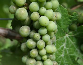 Grape powdery mildew on Pinot noir cluster