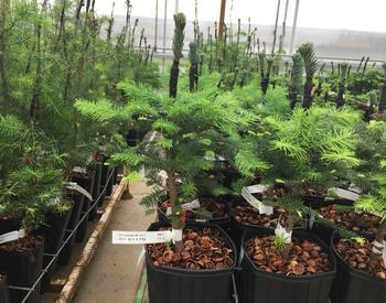 Horning Orchard's grafted noble and Douglas-fir seedlings.