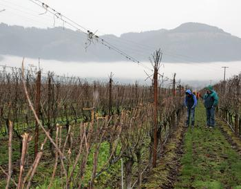 A pre-pruned spur vineyard in Oregon