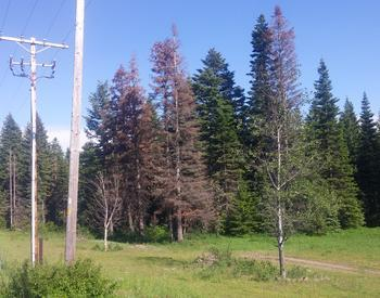 Grand fir trees dying from dought and heat