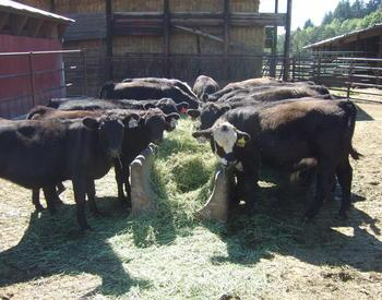 OSU Soap Creek Ranch replacement heifers.