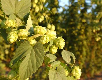 photo of hops