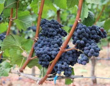 Pinot noir grapes in Oregon