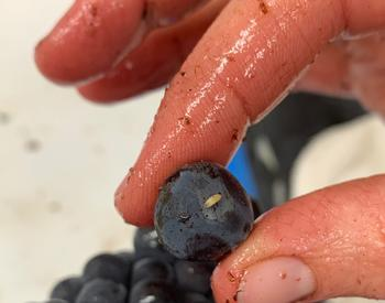 Fruit fly larvae on Pinot noir berry