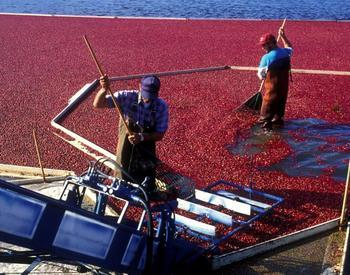 Two people harvesting cranberries
