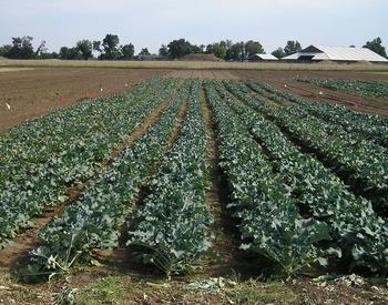 Broccoli field trial at NWREC
