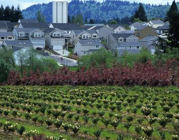 Vineyard with a neighborhood in the distance