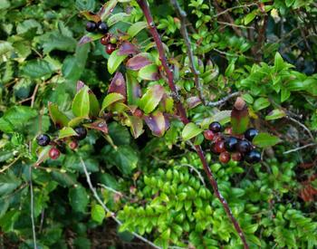 Evergreen huckleberry bush with ripe berries