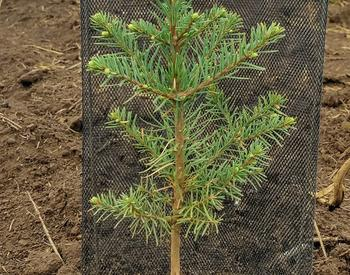 Shading noble fir seedling to reduce heat and drought stress