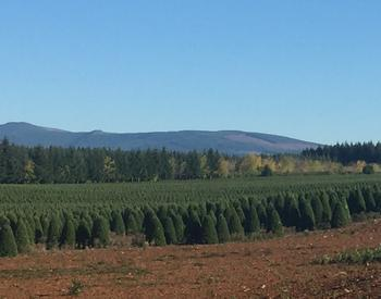 Noble fir Christmas tree crop near Beavercreek, OR
