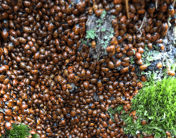 Many ladybugs grouped together