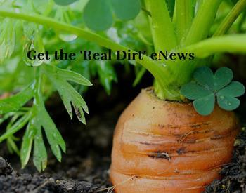 Carrot top emerging from soil. The 'Real Dirt' eNews.