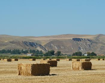 Bales of wheat straw in a Malheur County field