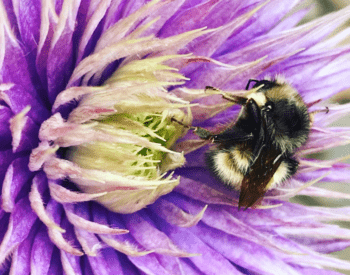 Bombus flavifrons on clematis