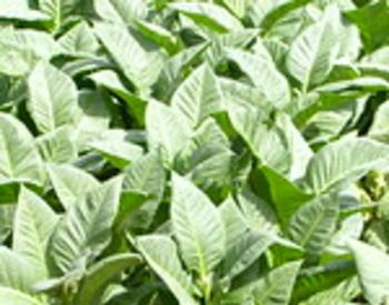 many mature tobacco plants growing together