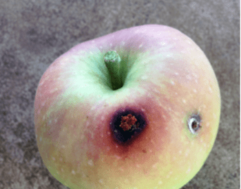 apple with damage on skin