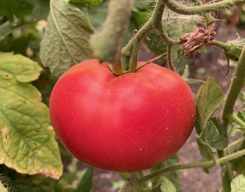 ash on red tomato on vine