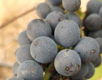 Pinot noir cluster exposed to wildfire smoke in Oregon