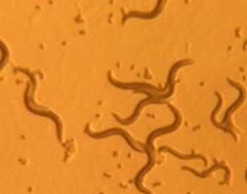 nematodes under a microscope