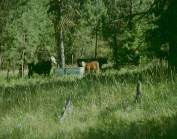 Cattle pasture in the forest