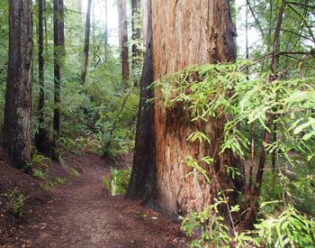 Redwood trees like this one in Curry County are being planted more frequently in western Oregon.