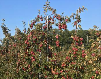 OSU Extension's experimental apple cider orchard occupies three acres at the North Willamette Research and Extension Center in Aurora.