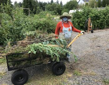 Gardener wearing overalls and facemask hauling a wheelbarrow full of weeds in large garden