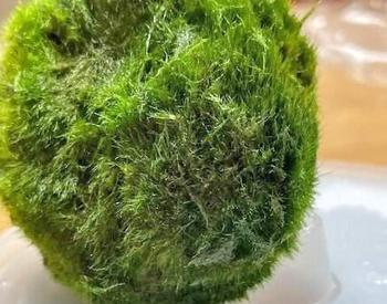 A round spoungy green ball, resembling moss sits on a tray. Next to it are tiny D-shaped zebra mussels that were found in the ball.