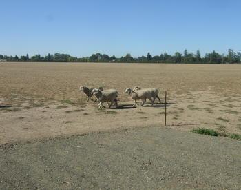 Sheep grazing in a dry field