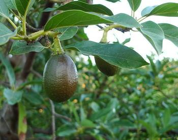 avocado plant with fruit
