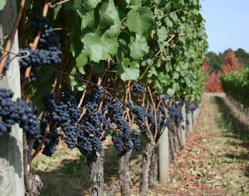 beautiful wine grapes near harvest