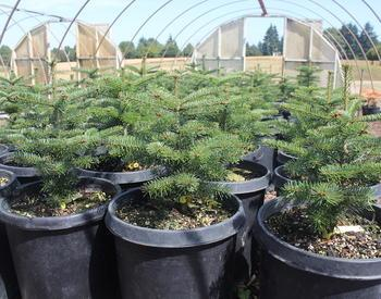 Small Christmas trees in large pots in a nursery