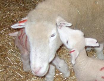 Baby lamb with mother