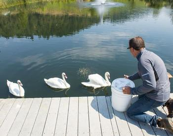 feeding swans in a pond