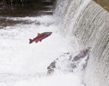 Salmon going upstream