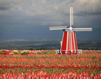 Betsy Hartly photo of windmill in tulip field