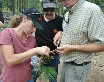 Three people examining a pine branch