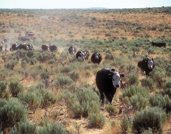 Moving a herd of cattle through the high desert